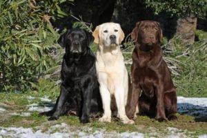 Labrador Fellfarben