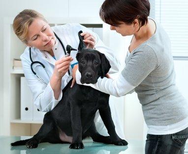 Labrador Hundekrankenversicherung