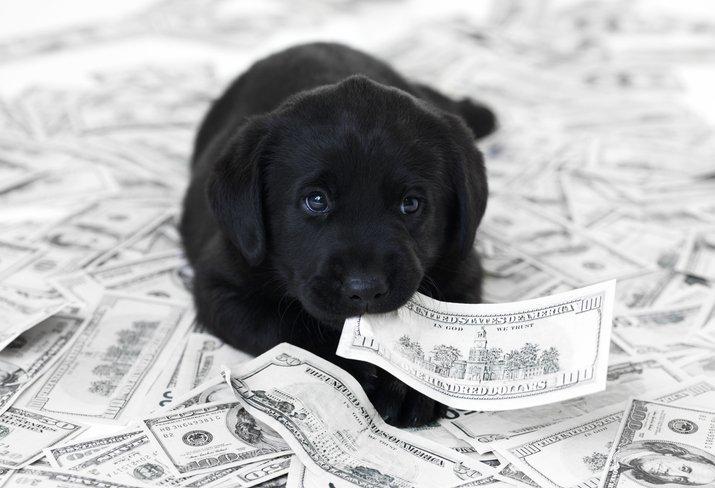Labrador Hundesteuer