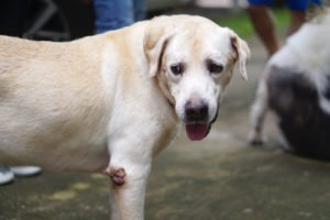Labrador mit Warze