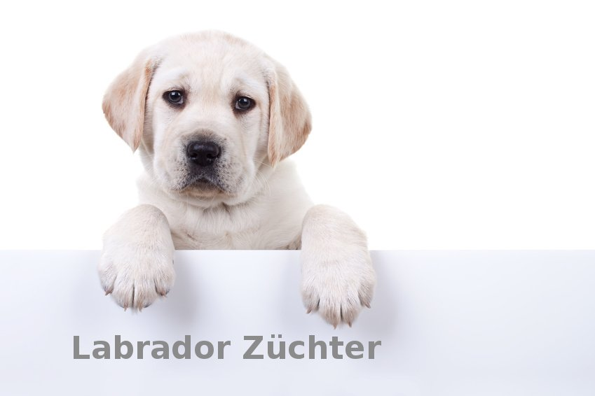 Labrador Züchter