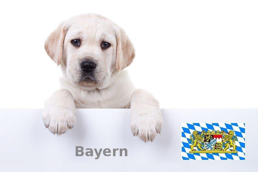 Labrador Züchter Bayern