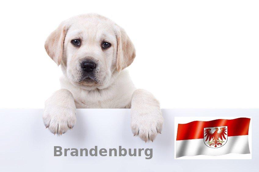 Labrador Züchter Brandenburg