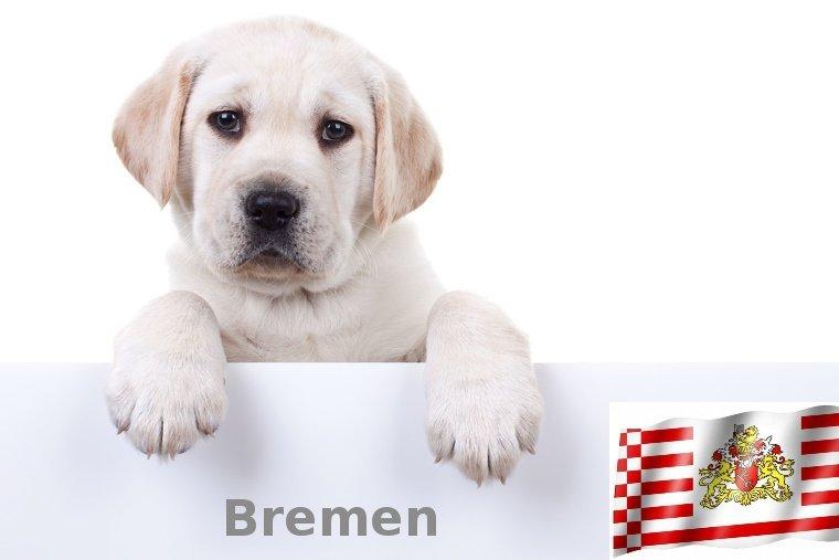 Labrador Züchter Bremen