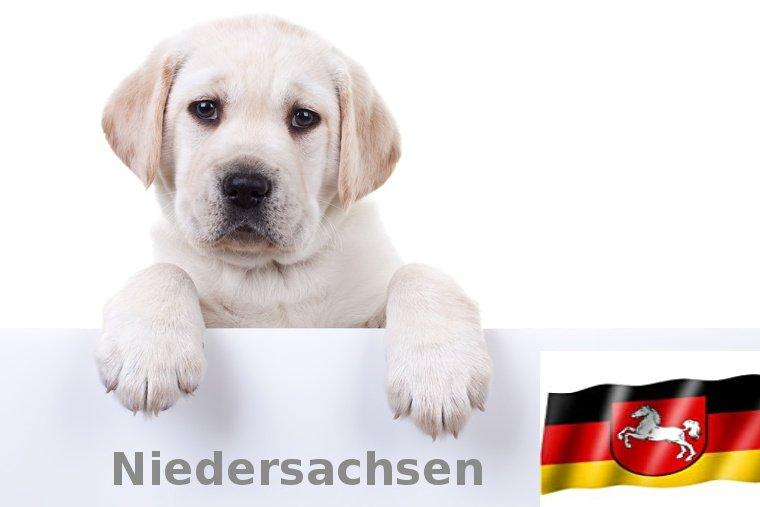 Labrador Züchter Niedersachsen