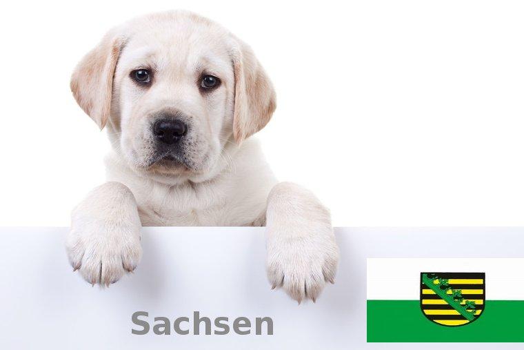 Labrador Züchter Sachsen