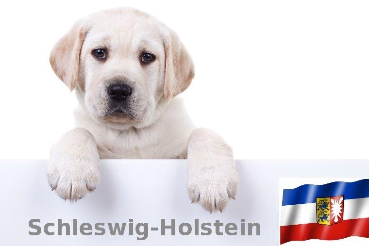Labrador Züchter Schleswig-Holstein