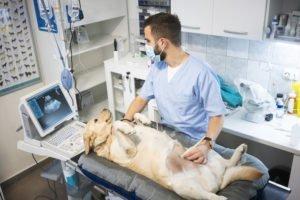 Laparotomie beim Hund