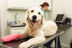 Osteochondrosis Dissecans beim Labrador