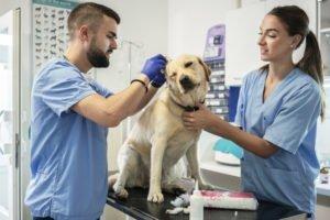 Othämatom beim Hund