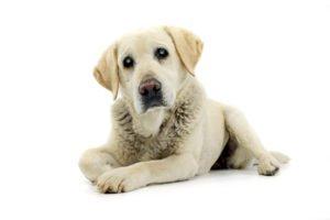 Progressive Retinaatrophie beim Hund