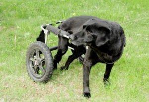 Diskospondylitis beim Hund