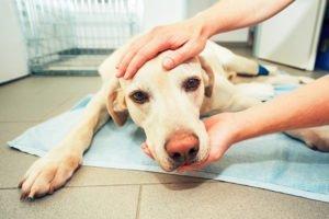 Gebärmutterentzündung beim Hund